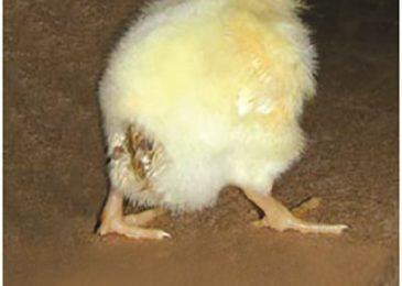 Một số bệnh thường gặp ở gà con 4 tuần tuổi