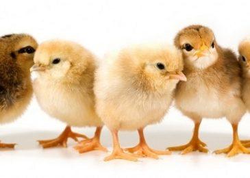 Cách chăm sóc gà chọi con trong từng giai đoạn phát triển