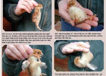 Bí quyết nuôi gà chọi con khỏe mạnh, nhanh lớn