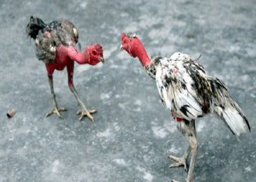 Cách vần gà chọi vụ lông 2 và một số tiêu chuẩn vần gà