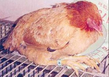 Bệnh tụ huyết trùng ở gà – triệu chứng và cách khắc phục