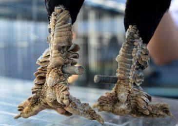 Bán gà mái vảy rồng chất lượng ở Hồ Chí Minh