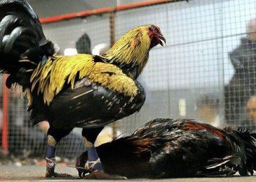 4 đặc điểm gà chọi Mỹ hút mắt người chơi gà