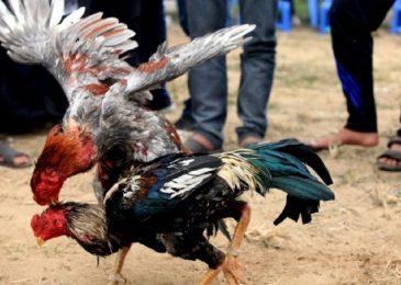 Chia sẻ cách chăm sóc gà chọi sau khi đá về có 1 – 0 – 2