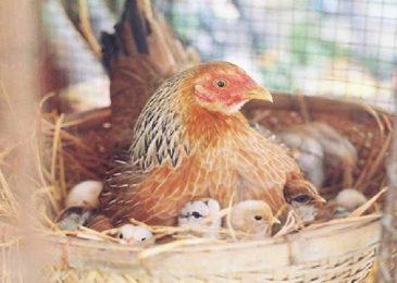 Bệnh gumboro ở gà – nguyên nhân, triệu chứng, điều trị