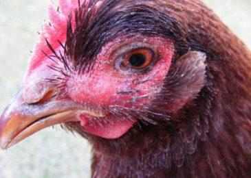 Nguyên nhân và cách chữa gà bị phù đầu
