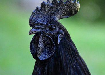 Gà mặt quỷ – giống gà quý hiếm và đắt nhất thế giới
