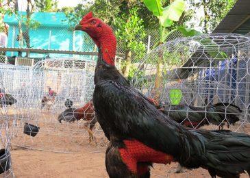 Tuyệt kỹ huấn luyện gà chọi Bình Định chiến cực hay