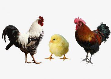 Kinh nghiệm và lịch tiêm phòng cho gà