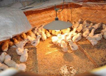 Cách chăm sóc gà con mới xuống ổ đạt hiệu quả cao