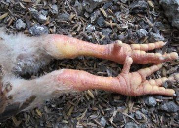 Gà bị sưng khớp chân – nguyên nhân và cách điều trị