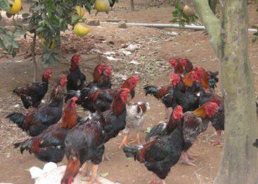 Nguyên nhân gà chết đột ngột và cách khắc phục