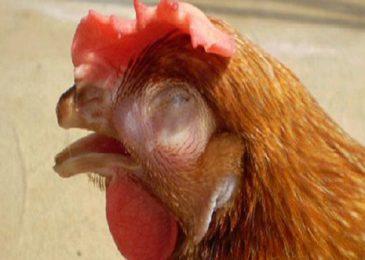 Cách trị gà bị sổ mũi thường và truyền nhiễm (Coryza)