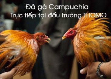 Đá gà trực tuyến Campuchia – luật chơi đá gà cơ bản
