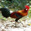 Đặc điểm và giá trị giống gà rừng thuần chủng