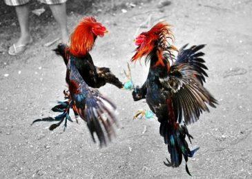 Đá gà tre cựa sắt miền Tây và thông tin về giống gà Tây Nam Bộ