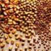 Tổng hợp các loại ngũ cốc cho gà đá