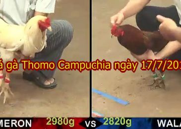 Video Đá Gà Thomo [CỰC HAY] ngày 17/7/2019