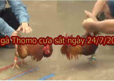 Đá gà Thomo cựa sắt (Full Video) ngày 24/7/2019