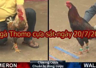 Video đá gà Campuchia thứ 7 ngày 20/7/2019