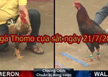 Đá gà Thomo cựa sắt (FULL) ngày CN 21/7/2019