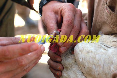 Bệnh ILT trên gà