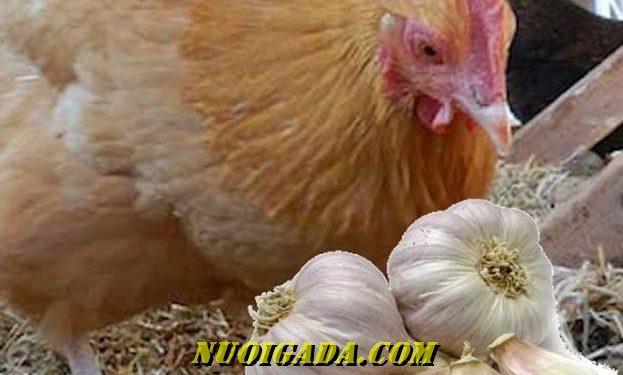 chữa hen cho gà bằng tỏi